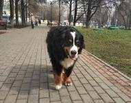 Берни в Москве (прожил 13 лет)_32