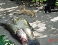 Кошки и рыбки:)_45
