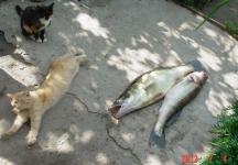 Кошки и рыбки:)_46